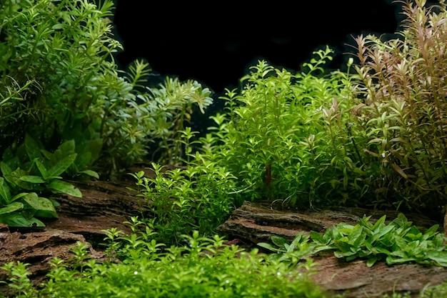 Dekoracje roślin akwariowych, wodnych paproci i wzrostu roślin akwariowych w akwarium.