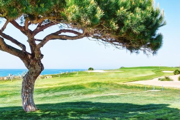 Dekoracyjna sosna na polu golfowym blisko morza.