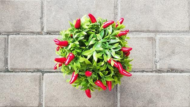 Dekoracyjne czerwone papryczki chili rosnące w doniczce.