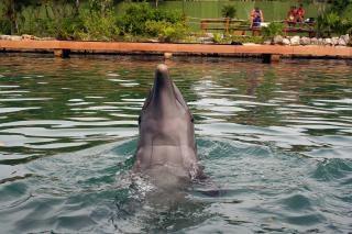 Delfin, ocean