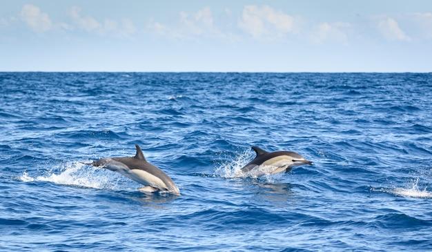 Delfiny surfujące na powierzchni morza