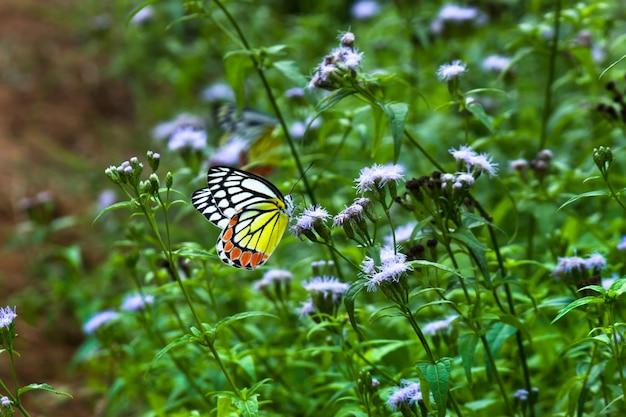 Delias eucharis, pospolita jezebel, to średniej wielkości motyl pierid spoczywający na roślinach kwiatowych