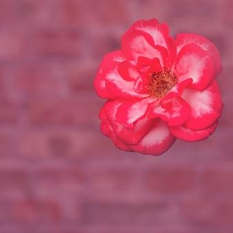Delikatna duża czerwona róża na tle ceglanego muru