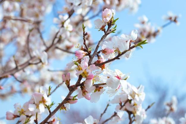 Delikatne białe kwiaty sakury na gałęzi drzewa na tle nieba