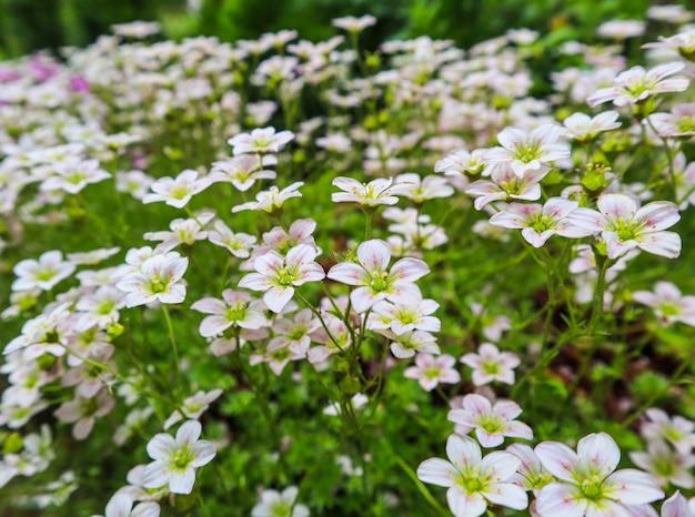 Delikatne białe kwiaty skalnicy omszałej w wiosennym ogrodzie
