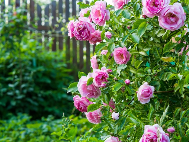 Delikatne brzoskwiniowe róże w pełnym rozkwicie w ogrodzie. zdjęcie z bliska. ciemnozielone tło. koncepcja ogrodu. kwiat róży,