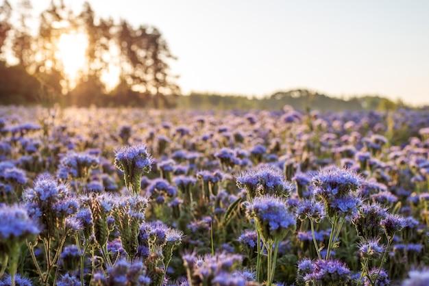 Delikatne, pachnące kwiaty facelii rozświetlone pierwszymi promieniami słońca w piękny poranek