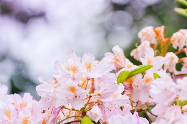 Delikatne różowe pąki różanecznika
