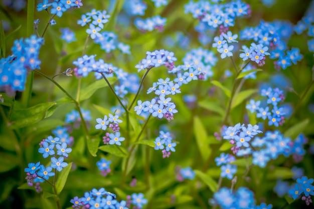 Delikatne zapomnij o mnie, a nie o kwiatach. selektywne skupienie. grupa dzikich niezapomnianych kwiatów. wspaniałe i piękne. kwiat rośnie na letniej łące. niebieskie kwiaty