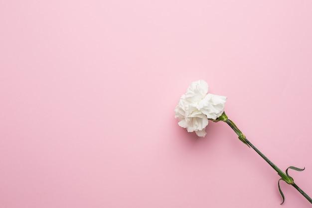 Delikatnie biały kwiat piwonii na różowym tle