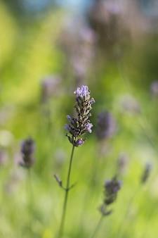 Delikatnie purpurowy kwiat lawendy na jasnozielonym tle rozmywał tło zielonego ogrodu
