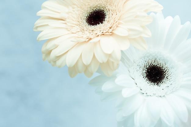 Delikatny biały kwiat gerbera na niebieskim tle z miejsca kopiowania tekstu. kartkę z życzeniami na wiosnę, pojęcie natury. martwa natura z kwitnącą gerberą.
