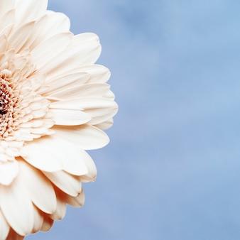 Delikatny biały kwiat gerbera na niebieskim tle z miejsca kopiowania tekstu. kartkę z życzeniami na wiosnę, pojęcie natury.