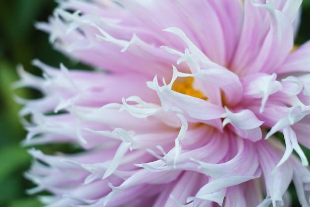 Delikatny kwiat bzu dalii na krzaku, zbliżenie