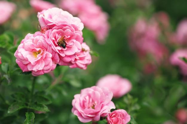 Delikatny kwitnący krzew z różami i dziką różą