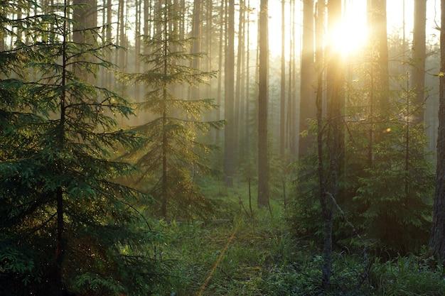 Delikatny wschód słońca w lesie z poranną mgłą i zamgleniem.