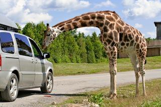 Delikatny żyrafa