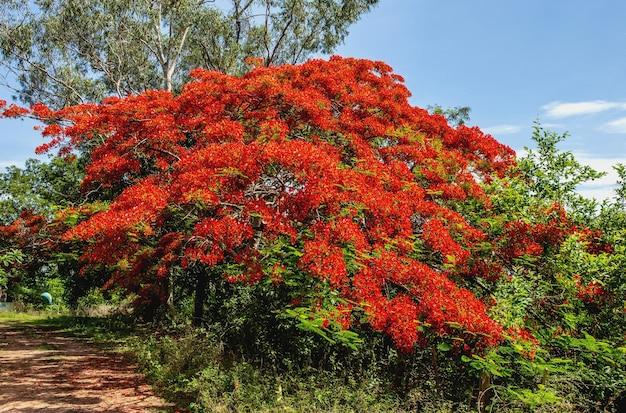 Delonix regia. ogólny widok kwitnącego drzewa. brazylia. pantanal. ameryka południowa.