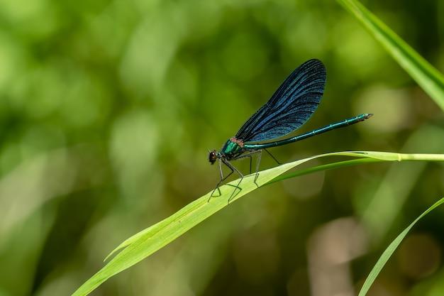 Demoiselle pasiasta (calopteryx splendens) siedząca na źdźble trawy