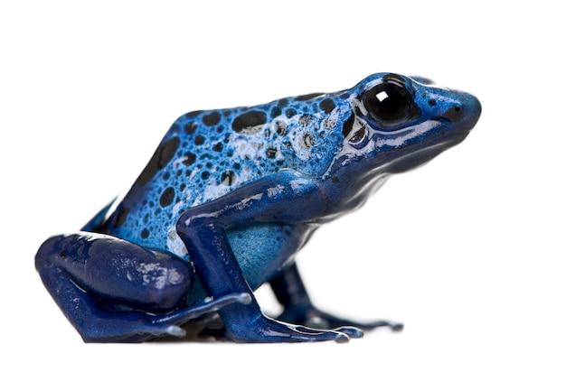 Dendrobates azureus to rodzaj zatrutej żabki - dendrobates azureus