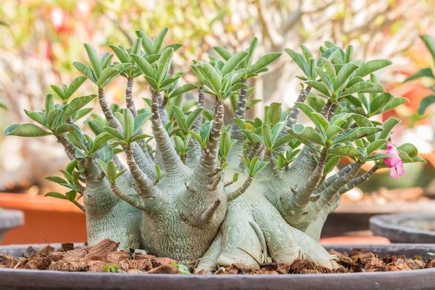 Desert rose bonsai, adium w doniczce.