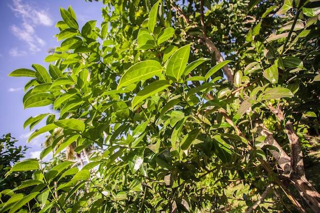 Detal rośliny awokado na dominikanie w słoneczny dzień