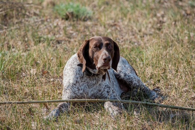 Deutsch kurzhaar wyżeł niemiecki krótkowłosy. kurzhaar to smukły, a nawet chudy pies.
