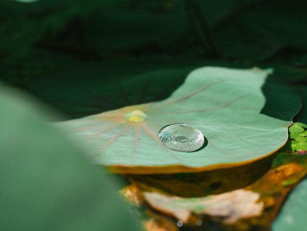 Dewdrop na zielonym liściu lotosu