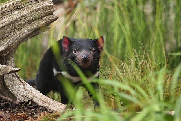 Diabeł tasmański pozuje w pięknym świetle