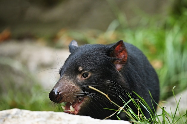 Diabeł tasmański. sarcophilus harrisii