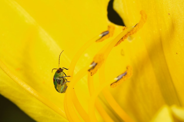 Diabrotica speciosa na żółtym lilium