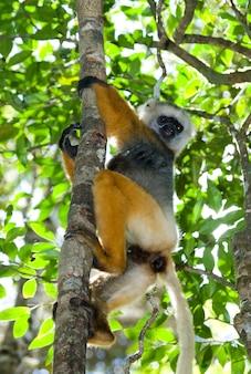 Diademed sifaka siedzi na gałęzi
