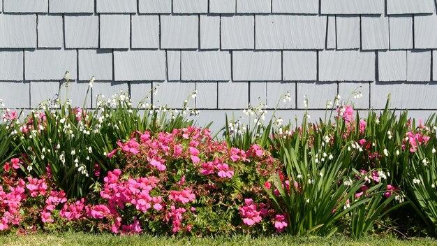 Diascia i kwiaty płatka śniegu, kalifornia usa. śnieżny rozkwit kropli rosy. domowe ogrodnictwo, amerykańska dekoracyjna ozdobna roślina doniczkowa, naturalna atmosfera botaniczna. zielony trawnik i dom drewniana ściana.