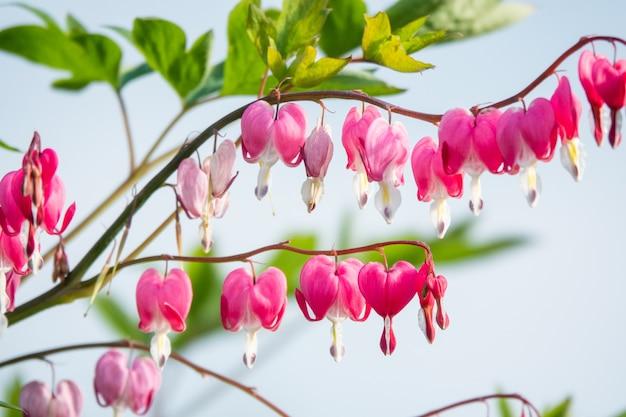 Dicentra - krwawiące serce kwiaty w ogrodzie na błękitnym niebie