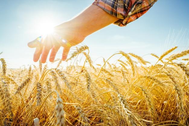 Dłoń dotyka kłosów jęczmienia. rolnik w polu pszenicy. bogata koncepcja zbiorów.