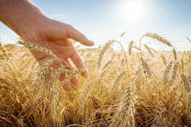 Dłoń dotyka kłosów jęczmienia. rolnik w polu pszenicy. bogata koncepcja zbiorów