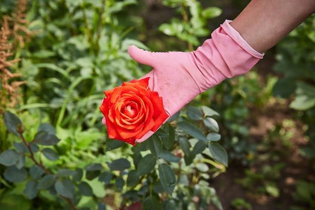 Dłoń rolnika w rękawiczce pokazuje dorosłą różę