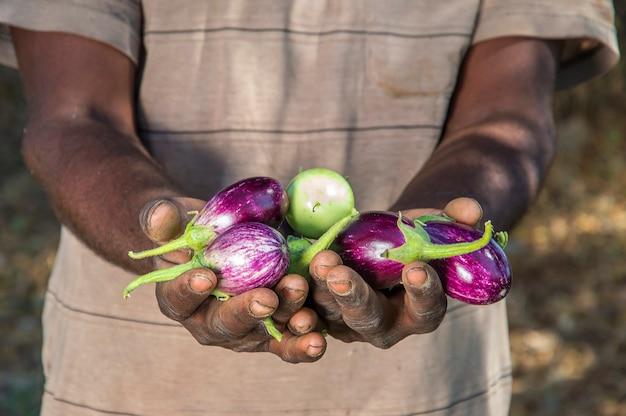 Dłoń trzymająca bakłażana w gospodarstwie ekologicznych bakłażanów lub brinjal
