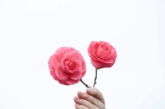 Dłoń trzymająca dwa piękne kwiaty kamelii