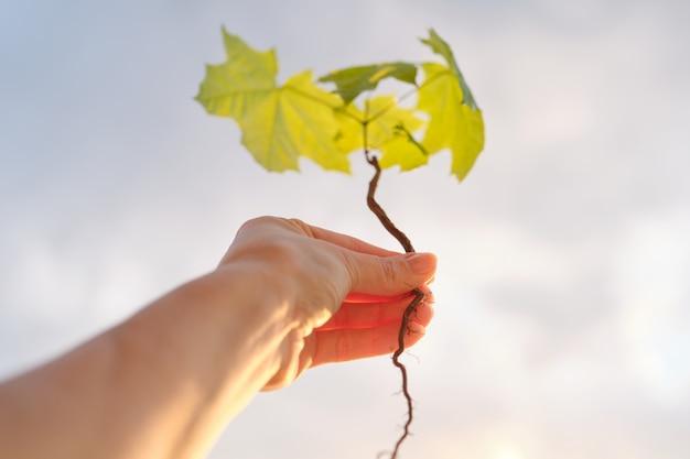 Dłoń trzymająca kiełkować małego drzewa klonowego