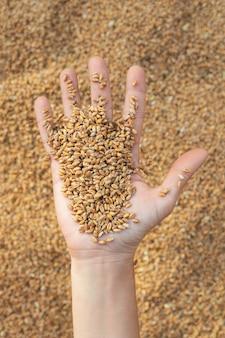 Dłoń trzymająca ziarna pszenicy na kupie jądra pszenicy. tło rolnicze.