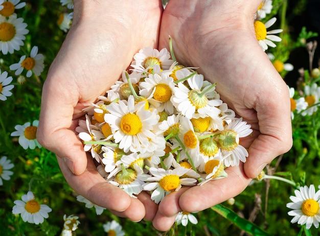 Dłonie mężczyzny z kwiatami rumianku aptecznego.