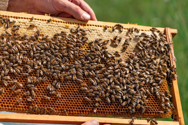 Dłonie pszczelarza trzymają komórkę miodu z pszczołami