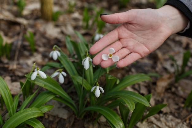 Dłonie womans delikatnie dotykają przebiśniegów z bliska.