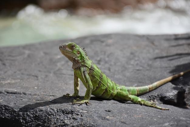 Długa zielona iguana z małymi prążkami wzdłuż pleców.