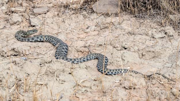 Długi niebezpieczny wąż na polu