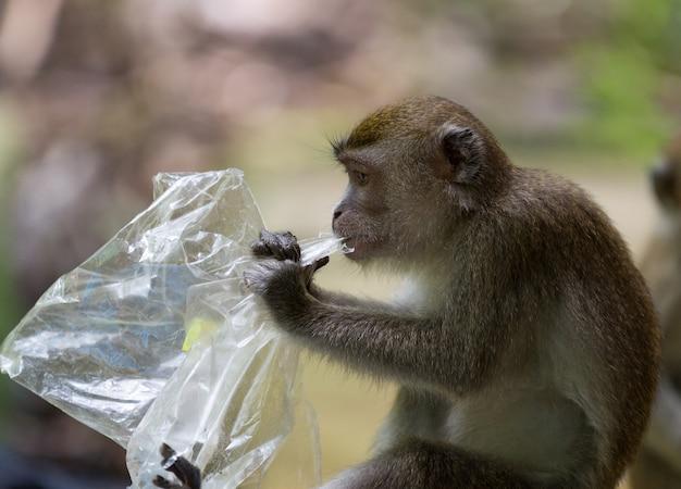 Długi ogoniasty makak małpy łasowania plastikowy worek w bako parku narodowym w borneo, malezja