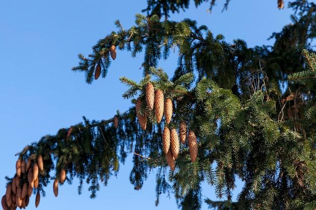 Długie brązowe młode szyszki jodły na gałęziach podczas ich rozwoju i wzrostu, zbliżenie w dzikim, błękitnym niebie