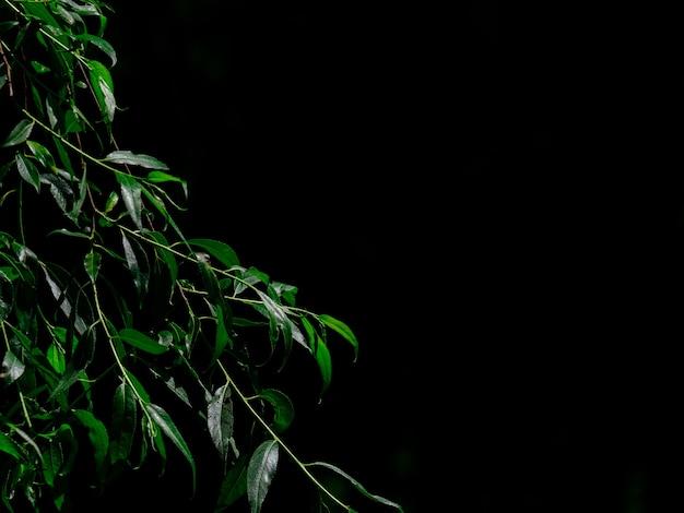 Długie ciemnozielone liście wierzby płaczącej na gałęziach na czarnym tle