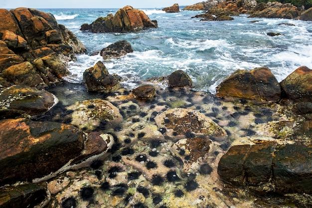 Długie kolce jeżowców na skale